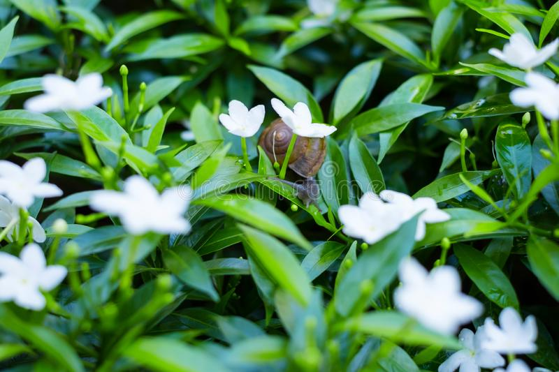 \'Depth of field shot, Animal snail with brown shell climbing and looking for food to eat on flower\'s leafs in the nature. I. \'Depth of field shot, Animal stock photos