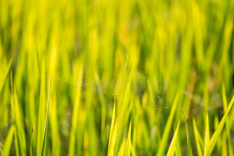 Depth of field shot, soft focus shot, Thailand agriculture, Spider web on yellow golden rice leafs growing in the farm land. I royalty free stock photography