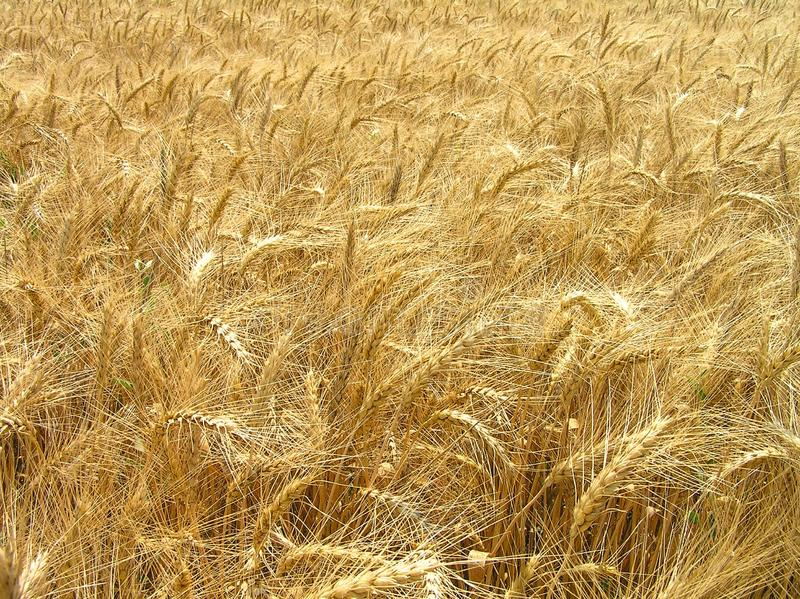 In the depths of a wheat field. royalty free stock images