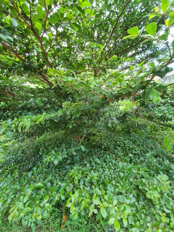 Der üppig grüne Baum im Garten stockfotos