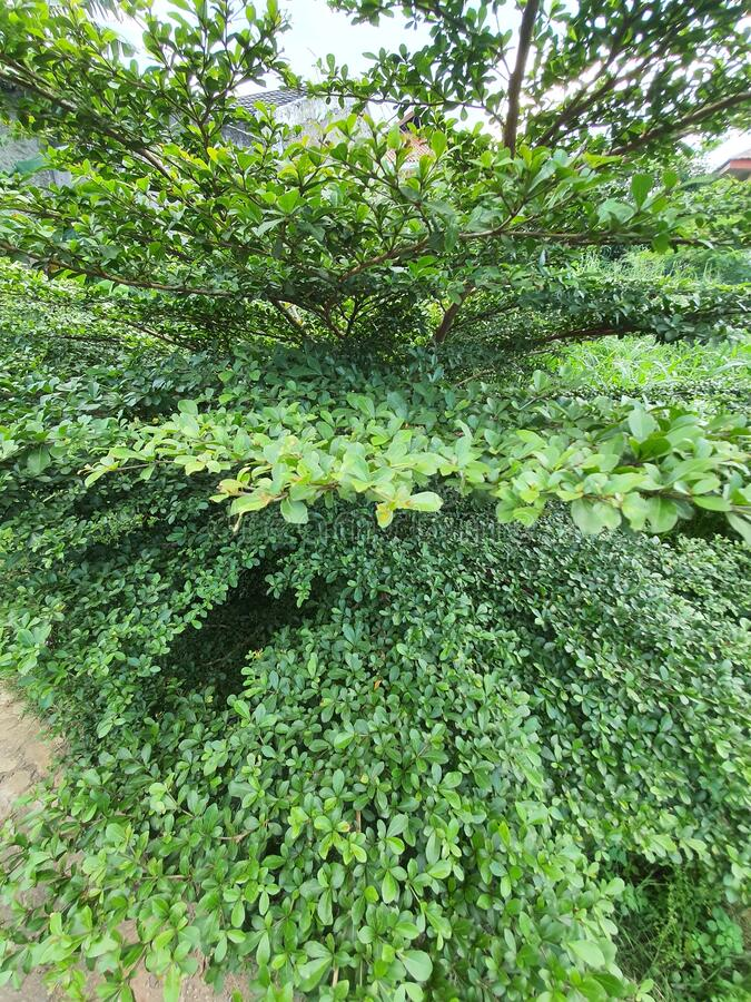 Der üppig grüne Baum im Garten stockbilder