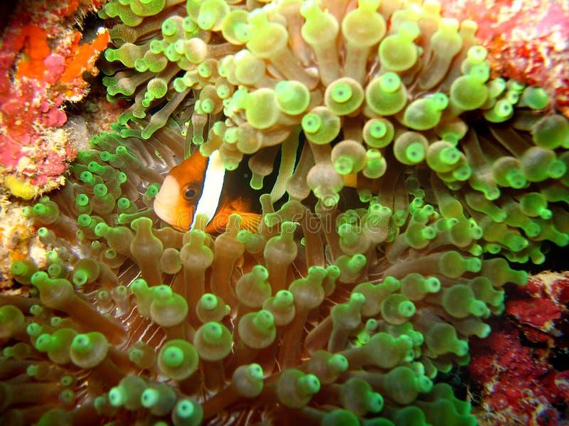 Der Abschluss herauf Foto der Anemone und der Clown fischen, der erschienene Form die Anlage ist Grüne Anemone und rote Clownfisc lizenzfreies stockfoto