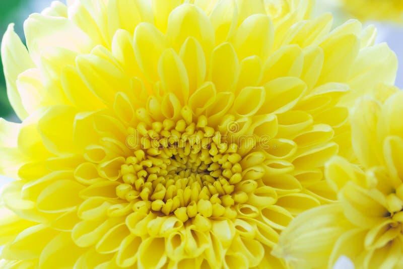 Der Abschluss oben der frischen Chrysantheme, selektiver Fokus stockfotografie