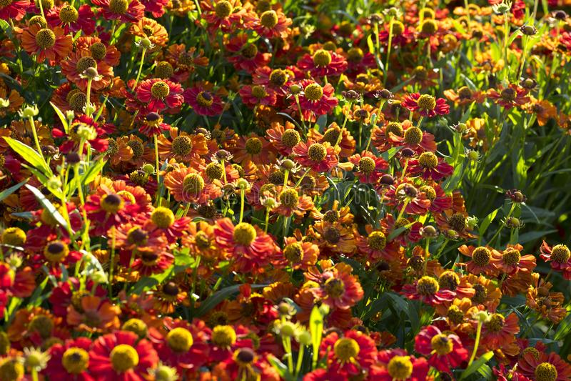 Der Abschluss oben schöner Ringelblumenblume Tagetes-erecta, mexikanischer, aztekischer oder afrikanischer Ringelblume im Garten  stockbild