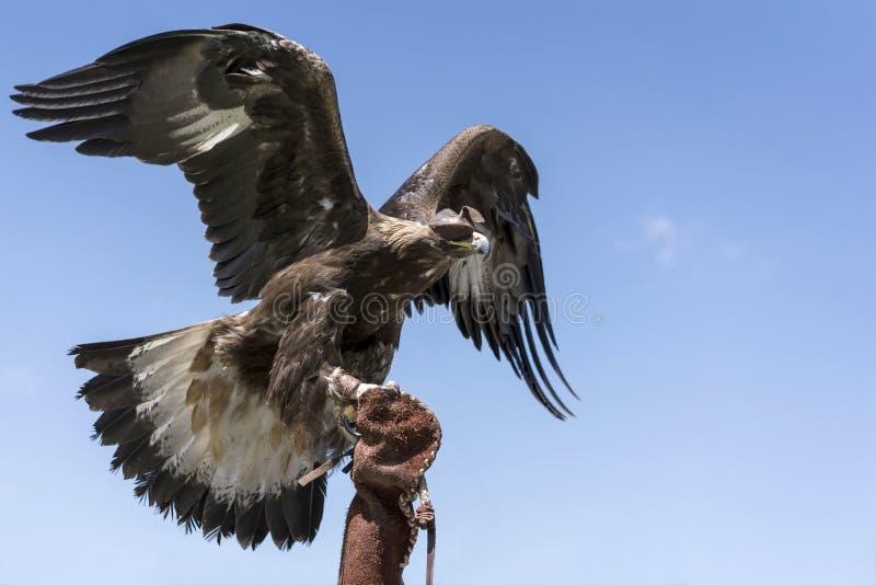 Der Adler sitzt auf dem Arm und bricht in den blauen Himmel lizenzfreies stockfoto