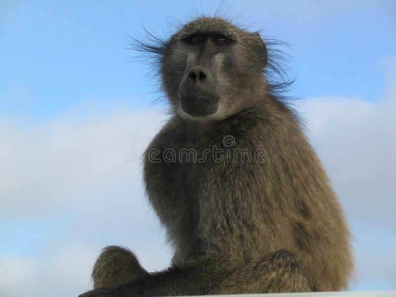 Der Affe ist auf einem hohen Baum lizenzfreie stockbilder