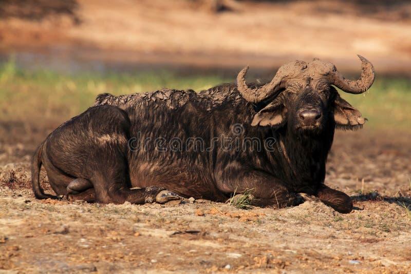 Der afrikanische Büffel oder Kapbüffel, ein Lügenbedeckter Schlamm des großen Stiers stockbild