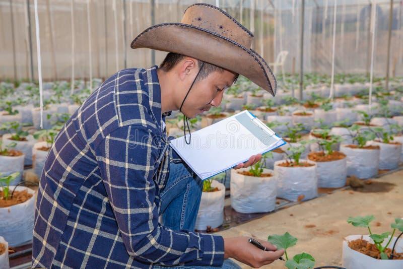 Der Agronom überprüft die wachsenden Melonensämlinge auf dem Bauernhof, den Landwirten und den Forschern in der Analyse der Anlag stockbilder