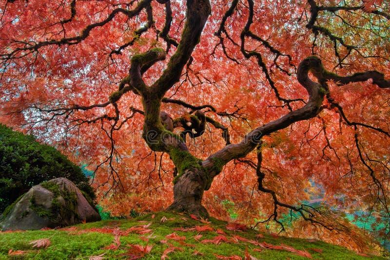 Der alte japanische Ahornbaum im Herbst stockbild