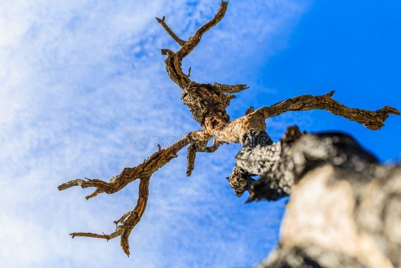 Der alte und trockene Baum, der gegen den blauen Himmel wächst lizenzfreie stockfotos