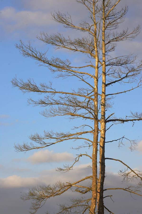 Der alte und vollständig trockene Baum, der gegen den blauen Himmel wächst stockfotografie