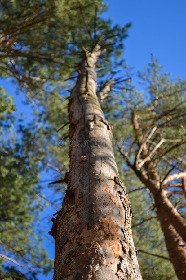 Der alte und vollständig trockene Baum, der gegen den blauen Himmel wächst stockbild
