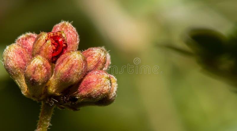 Der Anfang der Wüsten-Feder-Staubtuch-Blumen-Blüte lizenzfreie stockbilder