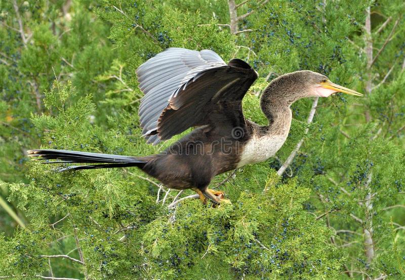 Der Anhinga lässt andere Vögel zu und wird häufig in Mischbrutkolonien mit Reihern, Ibises und Kormoranen gefunden lizenzfreie stockfotografie