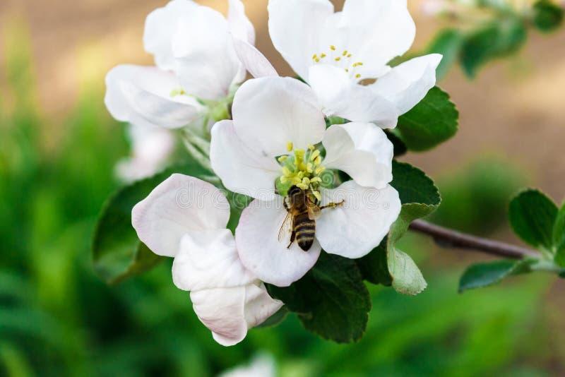 Der Arbeitstag der Biene stockfotos