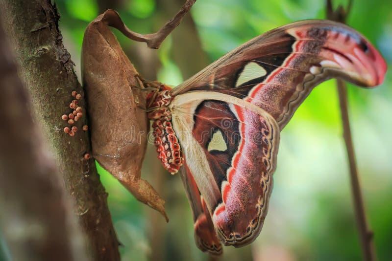 Der Atlasspinner (attacus Atlas) sitzend auf es ist Kokon stockfotografie