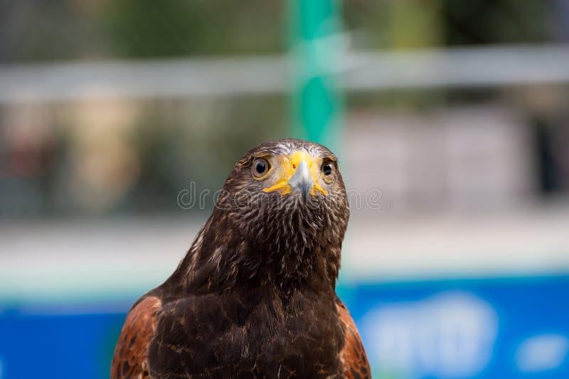 Der Ausdruck des geraden Gesichtes des Falken des Auges lizenzfreies stockbild