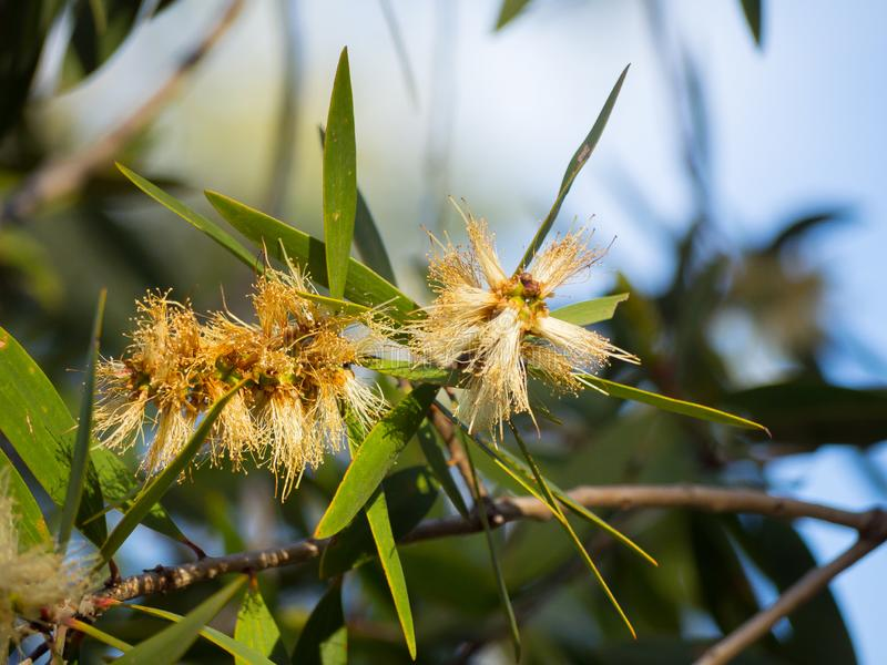 Der australische Betriebsweiße haarige Busch Wildflower in einer Frühlings-Saison an einem botanischen Garten stockbilder
