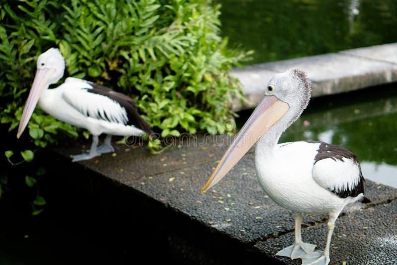 Der australische Pelikan lizenzfreies stockfoto