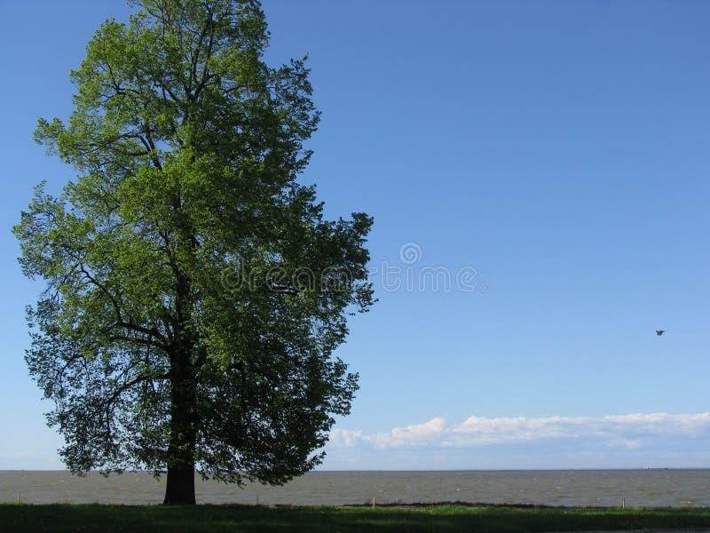 Der Baum auf dem Ufer des Finnischen Meerbusens stockfoto