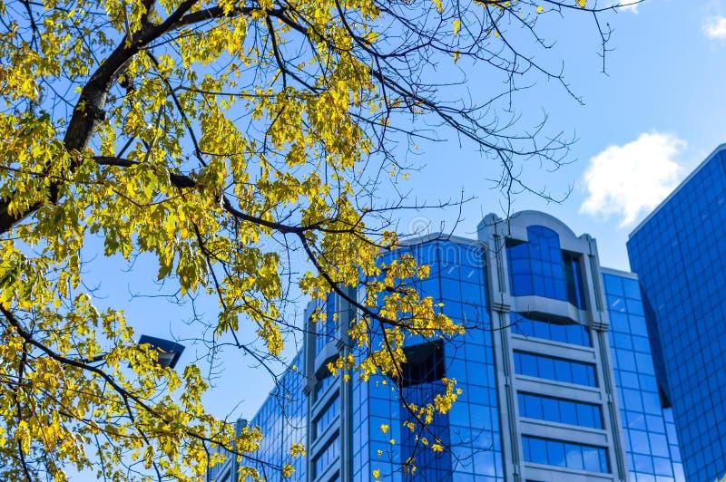 Der Baum mit Gelbblättern und den hohen Geschäftswolkenkratzern stockfotografie