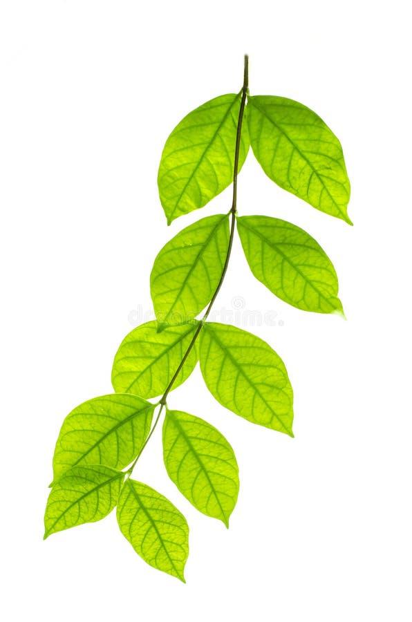 Der Baum verlässt auf dem weißen Hintergrund Die lokalisierten grünen Blätter mit Beschneidungspfad stockfotos