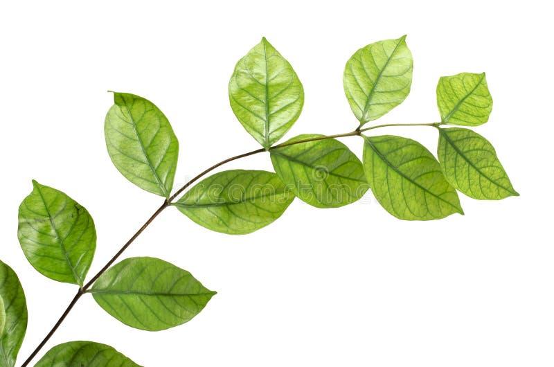 Der Baum verlässt auf dem weißen Hintergrund Die lokalisierten grünen Blätter mit Beschneidungspfad lizenzfreie stockfotos
