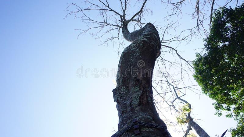 Der Baum verwelken, Baum verwelken, Baumherabsinken lizenzfreie stockfotografie