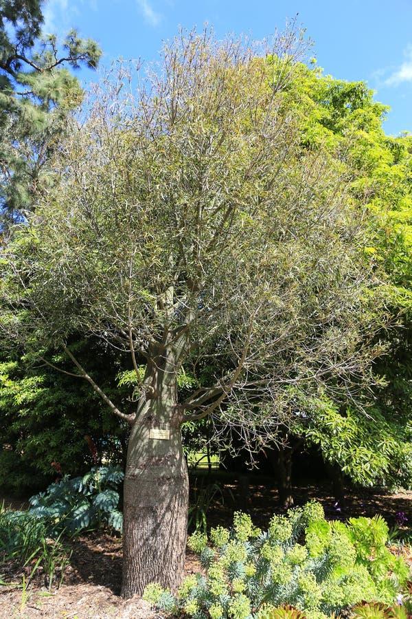 Der Baum in Werribee-Park, Melbourne, Australien stockfotografie