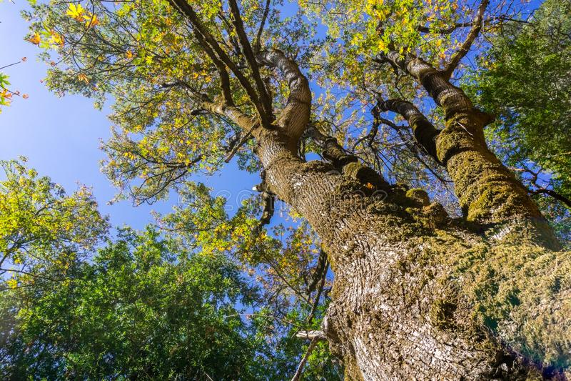 Der Baumstamm eines großen Blattahornbaums lizenzfreie stockfotos