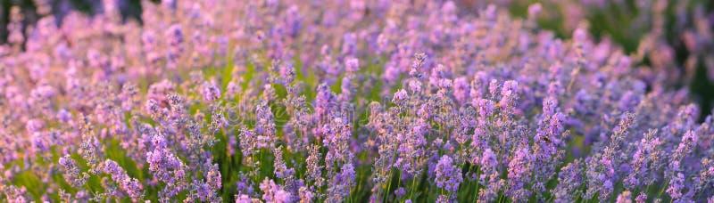 Der blühende Busch des wohlriechenden Lavendels in einem sonnenbeschienen lizenzfreie stockfotografie