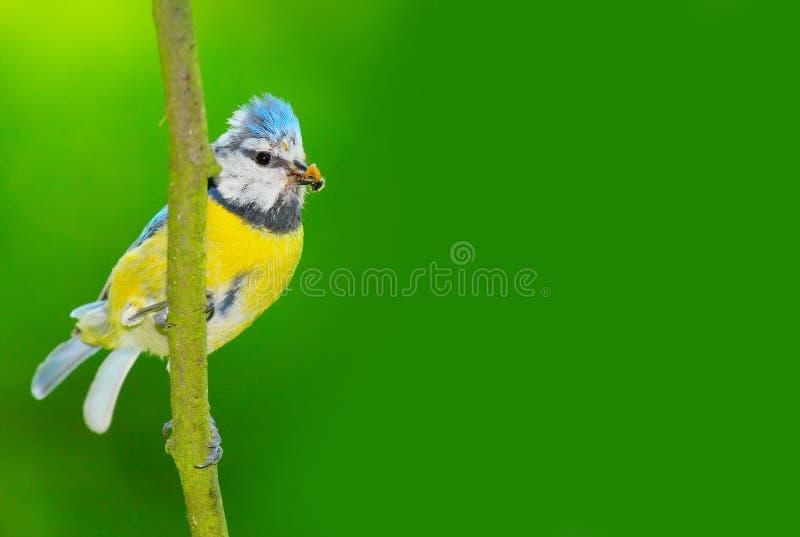 Der blaue Tit (Cyanistes caeruleus). lizenzfreie stockbilder