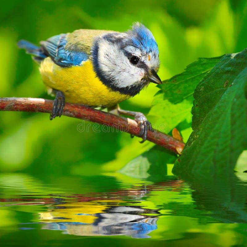 Der blaue Tit (Cyanistes caeruleus). stockfotos