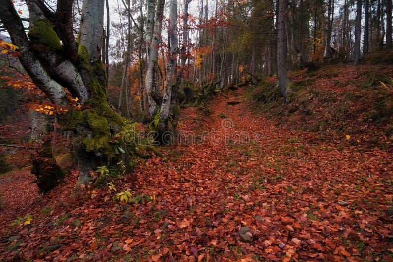 Der Boden wird mit gelben gefallenen Blättern umfaßt Herbstbuchenwald mit vielen gefallenen roten Laub- und Lichtbaumstämmen Stra stockbild