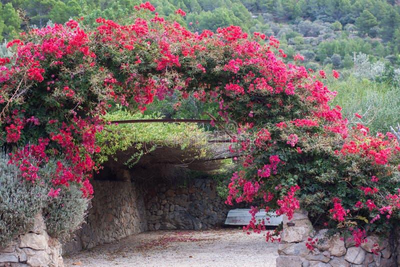 Der Bogen, der mit rosa Bouganvilla verziert wird, blüht in Son Serralta de Dalt Estellencs, Majorca lizenzfreie stockbilder