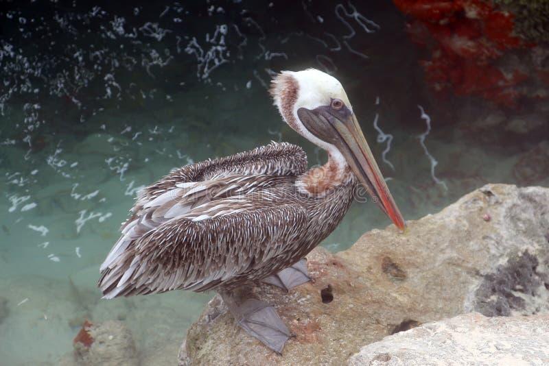 Der braune Pelikan lizenzfreies stockbild