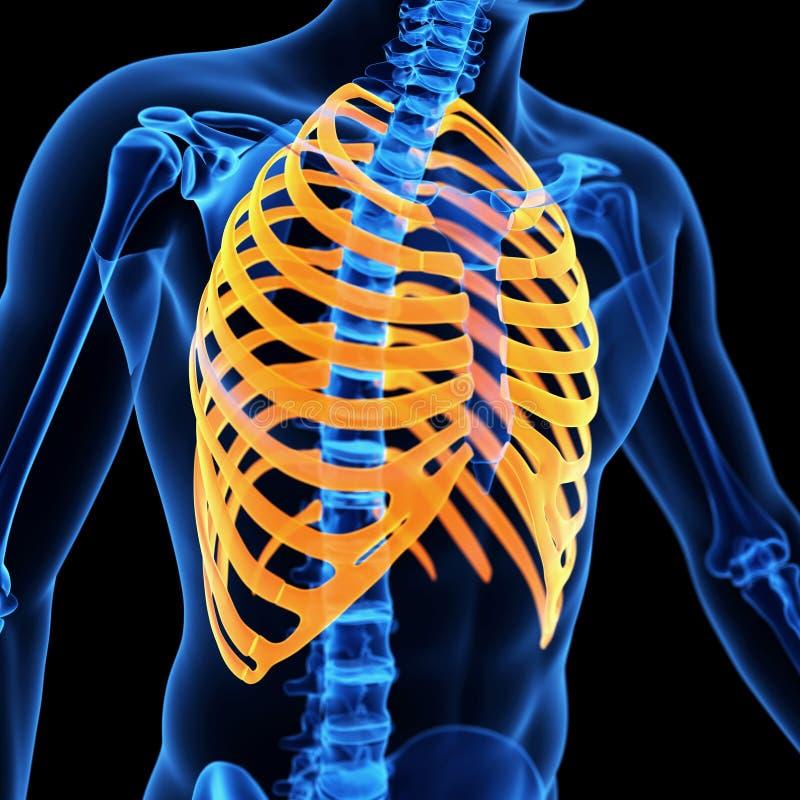 Der Brustkorb stock abbildung. Illustration von menschlich - 45275098