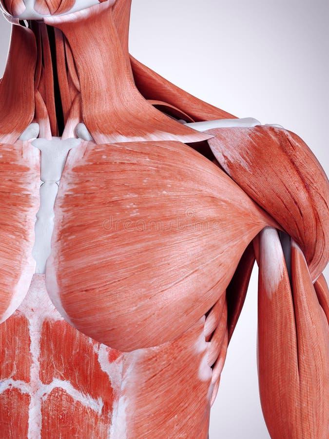 Der Brustmuskel vektor abbildung