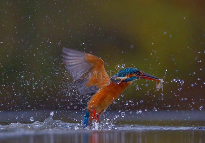 Der bunte Eisvogel, der mit einem Fisch in seinem Mund auftaucht lizenzfreie stockfotos
