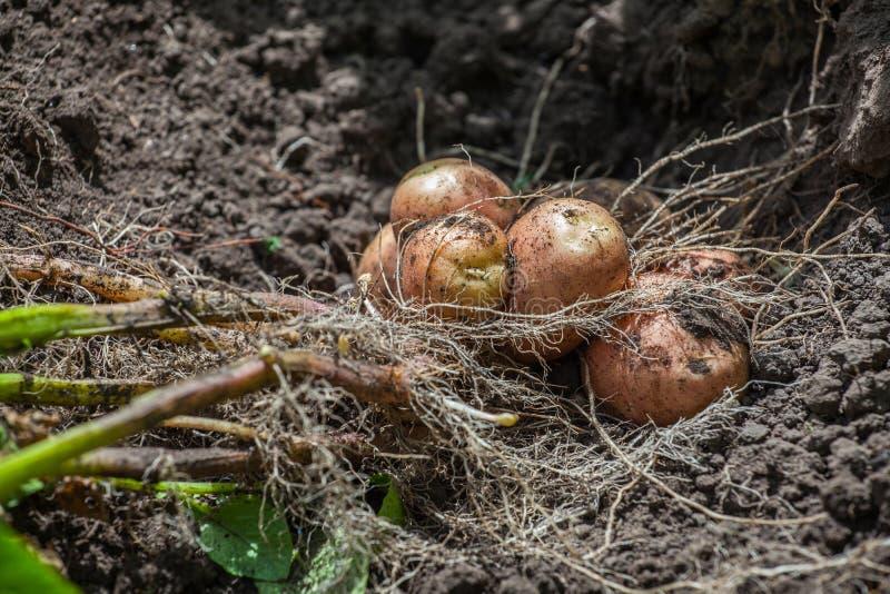 Der Busch der gegrabenen heraus jungen Kartoffel liegt aus den Grund stockbild