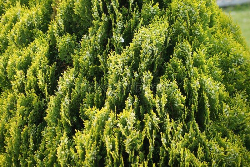 Der Busch ist grünes schönes stockfotos