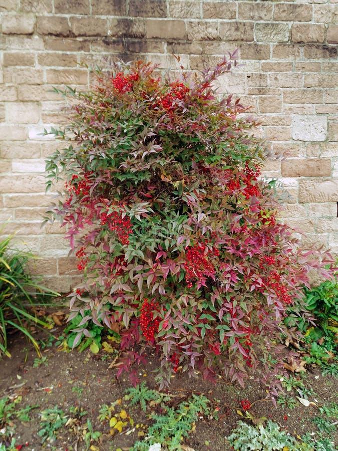 Der Busch wächst gegen die Wand stockfotografie