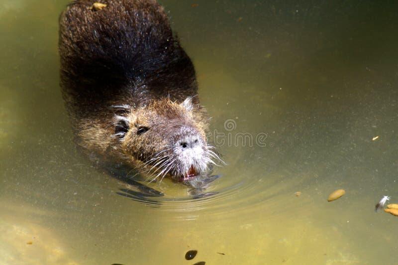Der Capybara ist das größte lebende Nagetier in der Welt lizenzfreie stockfotos