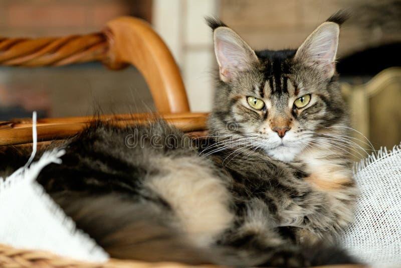 Der Cat Maine Coon-Farbschwarztiger, der mit grünen Augen wild ist, liegt in einem Weidenkorb auf einem Leinwandstoff stockfotos