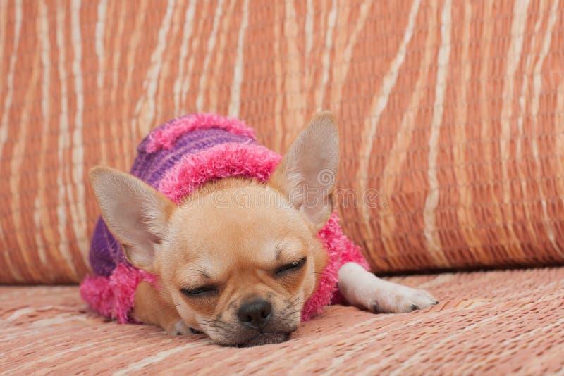 Der Chihuahuawelpe kleidete mit Pullover schlafend auf Sofa an lizenzfreies stockbild