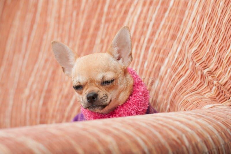Der Chihuahuawelpe kleidete mit Pullover schlafend auf Sofa an stockfotografie