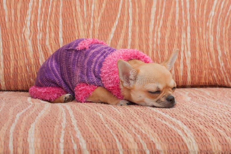 Der Chihuahuawelpe kleidete mit Pullover schlafend auf Sofa an lizenzfreies stockfoto