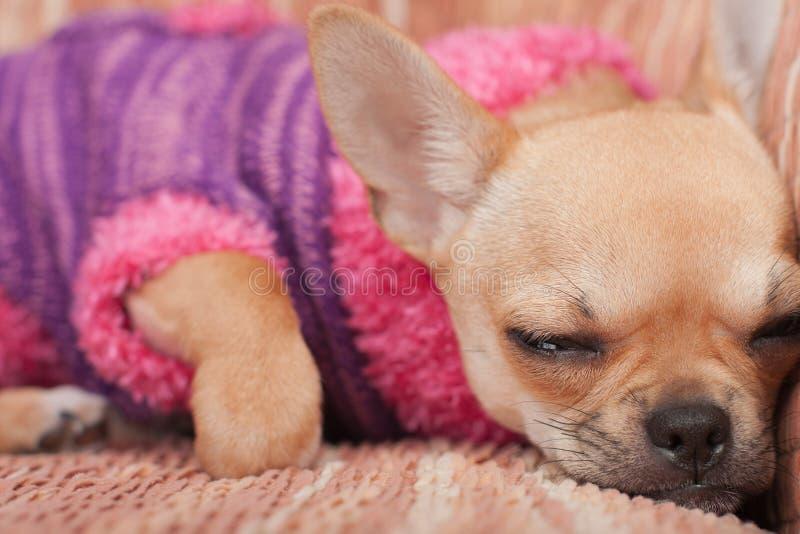 Der Chihuahuawelpe kleidete mit Pullover schlafend auf Sofa an stockfoto