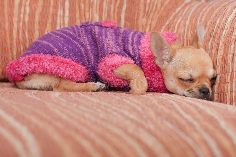 Der Chihuahuawelpe kleidete mit Pullover schlafend auf Sofa an lizenzfreie stockfotos