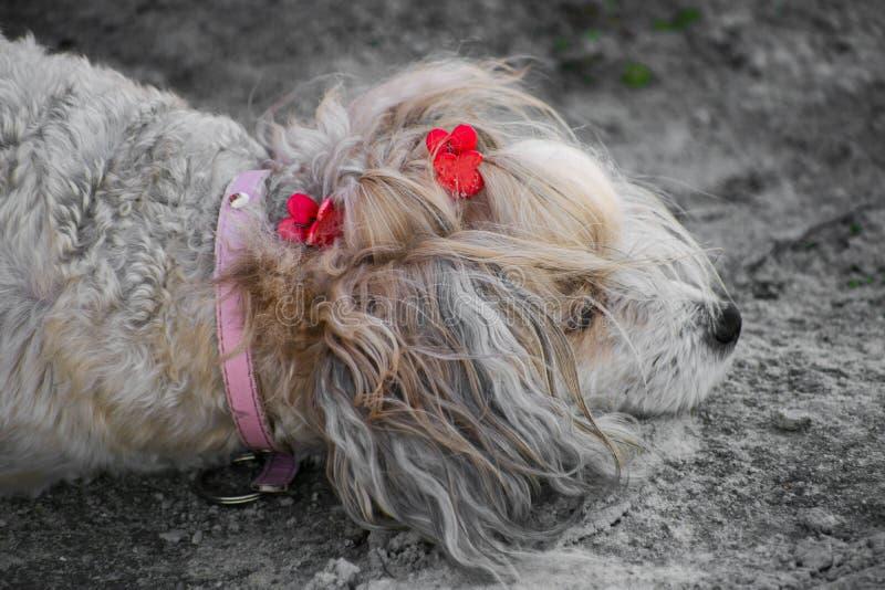 Der Chinese Crested-Hund, schöne chinesische Feder Hundedame stockfotografie